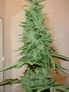 These new Holiday Trees are all the rage in Washington and Colorado this year. Unlike most trees, these are SUPPOSed to burn...one bud at  a time